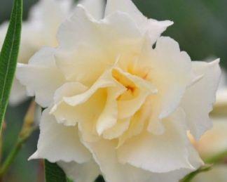 nerium-oleander-luteum-plenum-leander-dupla