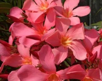nerium-oleander-tito-poggi-leander