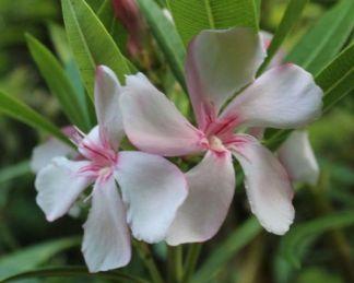 nerium-oleander-virginie-leander