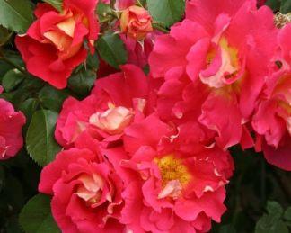 Bajazzo rózsa
