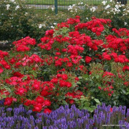 Black_Forest talajtakaró rózsa