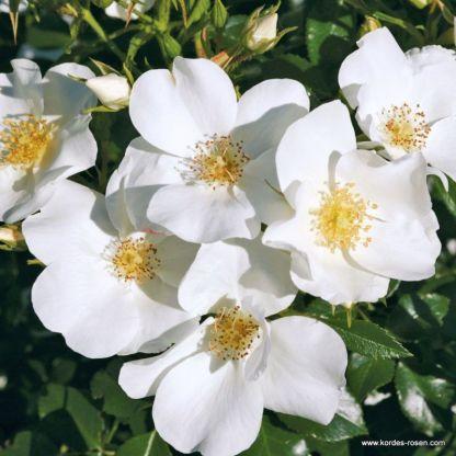 rózsa escimo kordes