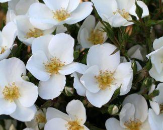 escimo kordes rózsa