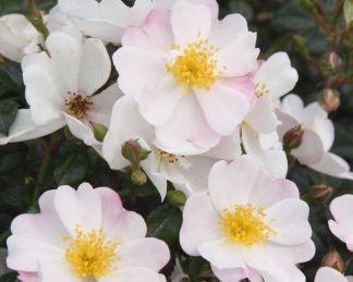 Medeo Kordes rózsa