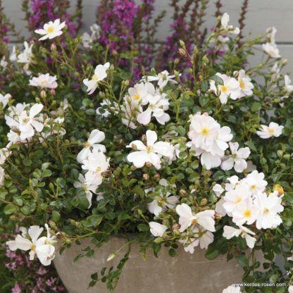 Medeo® - bokorrózsa 1 ADR minősített, növénytartóba is ültethető kicsi bokorrózsa, rózsaszínesen csillogó fehér virágokkal  <em>Kiszerelés: szabadgyökerű, A minőség</em>