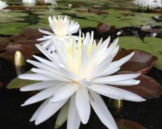 Nymphaea-waterlily-snowflake-tavirózsa