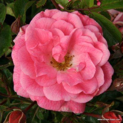Palmengarten Frankfurt® - bokorrózsa 1 ADR minősített, erős rózsaszín alacsony bokorrózsa, talajtakarásra is alkalmas!  <em>Kiszerelés: szabadgyökerű, A minőség</em>