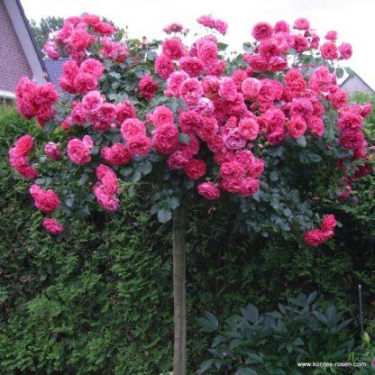 Rosarium Uetersen® - bokorrózsa 1 Díjnyertes bokorrózsa, mély rózsaszín, ezüstös árnyalatú, rendkívül dús virágzású  <em>Kiszerelés: szabadgyökerű, A minőség</em>