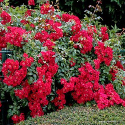 Sommerabend talajtakaró rózsa