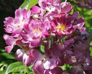 Kletterrose Veilchenblau, futórózsa