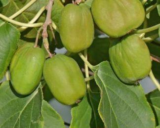 actinidia-arguta-chang-bai-giant-kopasz-kivi-gyumolcs
