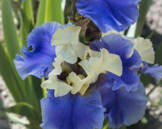 iris-barbata-haut-les-voiles-nőszirom