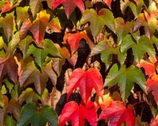 parthenocissus-tricuspidata-green-spring-repkeny-vadszolo