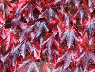 """Parthenocissus tricuspidata 'Veitchii' - repkény vadszőlő 1 <span class=""""st"""">A<strong>Parthenocissus tricuspidata 'Veitchii' - repkény vadszőlő </strong>levelei nyáron sötétzöldek, kb. 15 cm nagyságúak, durván fogazottak, háromkaréjosak, ősszel kármin-piros színűvé változnak. Díjnyertes növény.</span>  <em>Kiszerelés: konténer, 2 l, 70-90 cm</em>"""