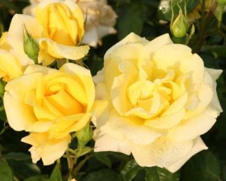 Berolina teahibrid rózsa