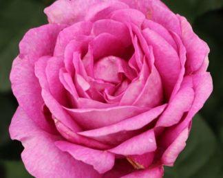 Carmen-Wuerth teahibrid rózsa