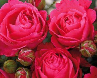 Edelrose Cherry Lady teahibrid rózsa