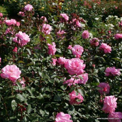 Eliza teahibrid rózsa