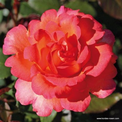 Fairest Cape teahibrid rózsa