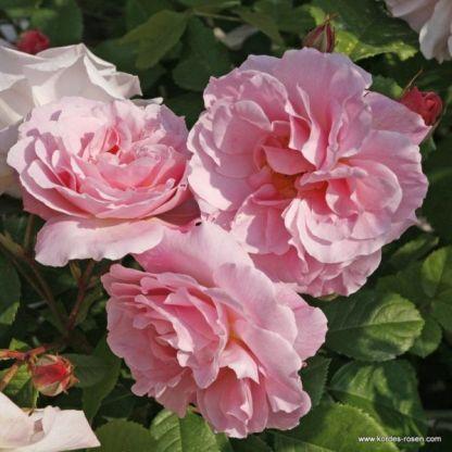 friitz nobis történelmi rózsa
