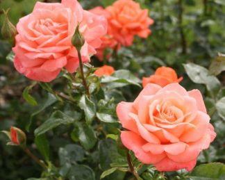 Hamburger_Deern teahibrid rózsa