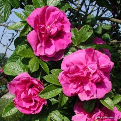Hansa történelmi rózsa
