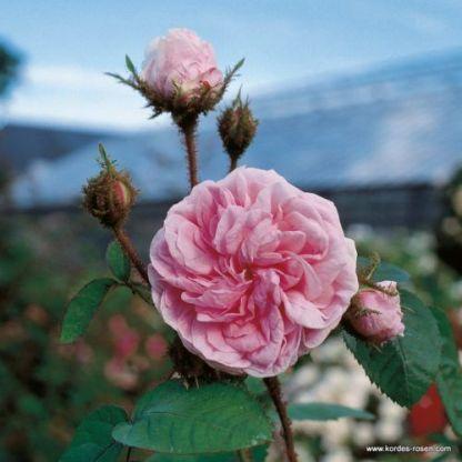 Muscosa_történelmi rózsa