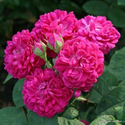 Rose_de_Resht történelmi rózsa