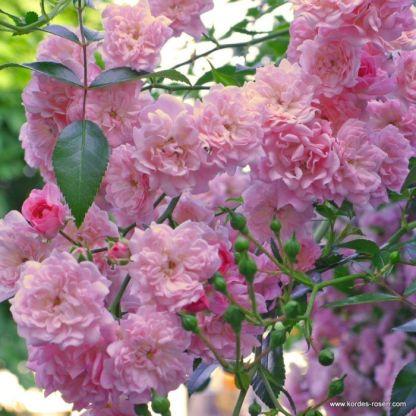 The_Fairy talajtakaró rózsa