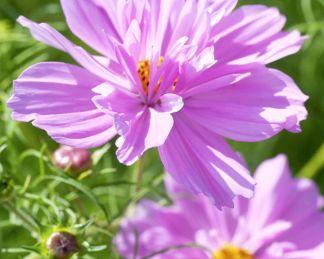fizzy pink pillangóvirág florapont