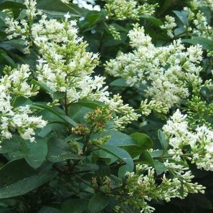 ligustrum_ovalifolium-fagyal-virág