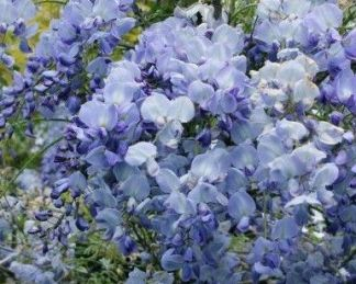 wisteria-floribunda-bluedream-lilaakac