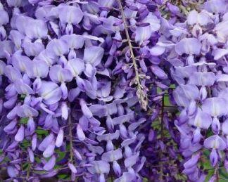 wisteria-macrostchya-blue-moon-lilaakac