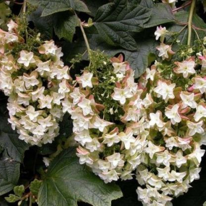 Hydrangea-quercifolia-Black-Porch-tolgylevelu-hortenzia