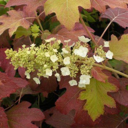 Hydrangea-quercifolia-burgundy-tolgylevelu-hortenzia