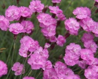 dianthus-gratianopolitanus-dwarf-pink-punkosdi-szegfu