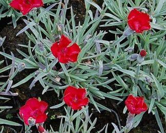 dianthus-gratianopolitanus-rubin-punkosdi-szegfu