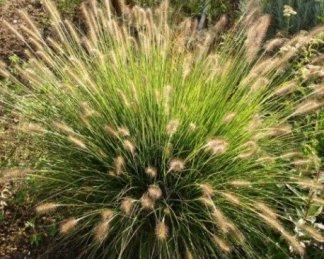 Pennisetum alopecuroides 'Goldstrich' ('Gelbstiel') évelő tollborzfű