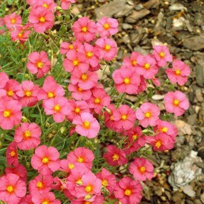 helianthemum-ben-hope-napvirag