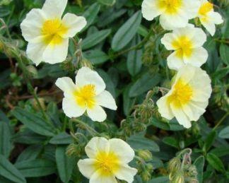 helianthemum-cornish-cream-napvirag