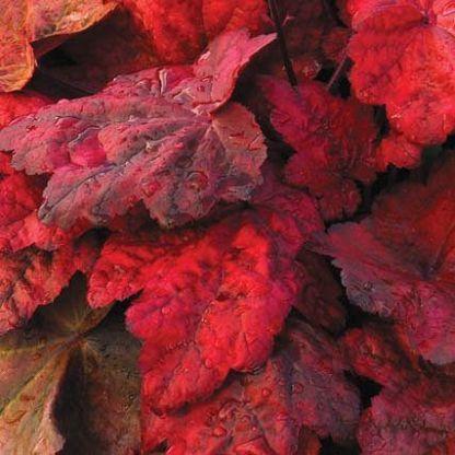 heuchera-autumn-leaves-tuzgyongyvirag