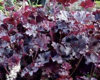 heuchera-purple-petticoats-tuzgyongyvirag