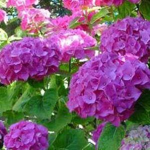 hortensia-macrophylla-boquet-rose-hortenzia2