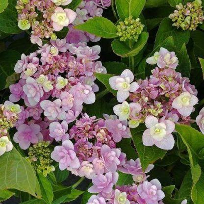 hortensia-macrophylla-forever-hortenzia