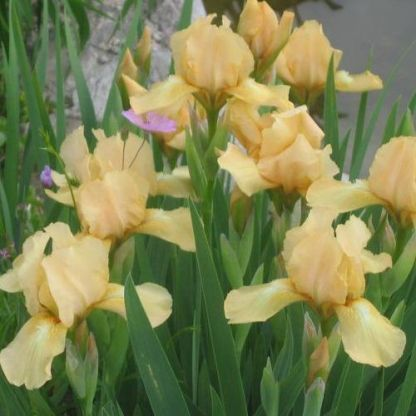 iris-barbata-nana-melon-honey- szakállas noszirom virágai