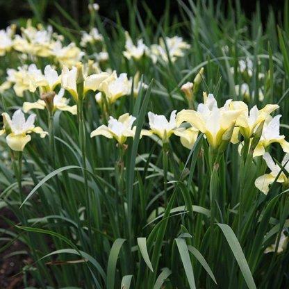 iris-sibirica-butter-and-sugar-sziberiai-noszirom