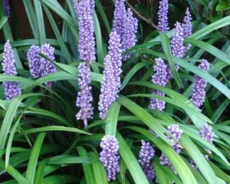 liriope muscari virág