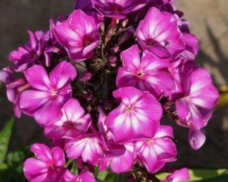 phlox-paniculata-sweet-summer-surprise-bugas-langvirag