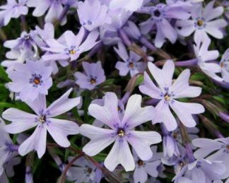 phlox-subulata-early-spring-blue-arlevelu-langvirag