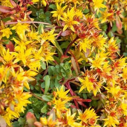 sedum-floriferum-weihenstephaner-gold-kamcsatkai-varjuhaj